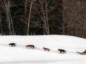 Winter - dog sledding