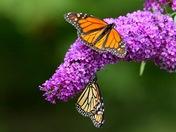 Monarch Friends