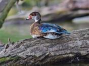 Juvenile wood duck.