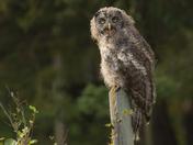 Fledgling Great Grey Owl