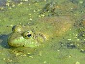 Bullfrog in algae