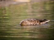 Headless Duck???