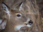 Close Up Of Deer's Head