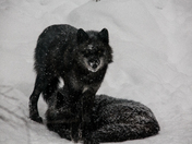 Black Wolves In The Snow