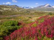 Fall colour in the tundra in Tatshenshini-Alsek Park