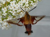 Look It's a Hummingbird Moth