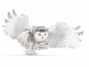 Jazz Wings - Snowy Owl