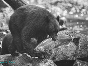B&W Black Bear