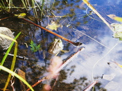 frog in the blues