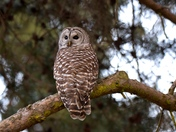 Bared Owl.