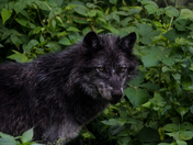 Black Wolf In Forest