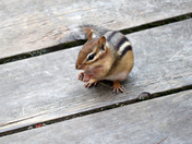 On the Boardwalk with a Chipmunk