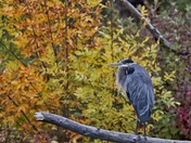 Great Blue Heron on Elbow River