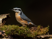 Red Breasted Nuthatch -2