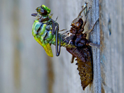 Dragonfly hatching