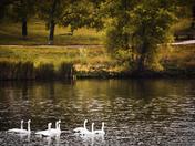 Trumperter Swans