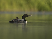 Loon with. babies