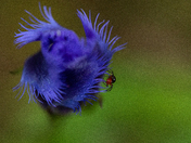 Itsy Bitsy Spider on the Fringed Gentian