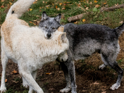 Timber Wolf Tender Moment