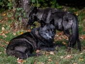 Two Black Timber Wolves