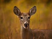 Portrait of a Doe