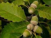 Chestnut Oak/Pelee Island