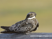 Portrait of a Common Nighthawk