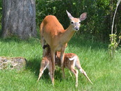 Ewin fawns feeding