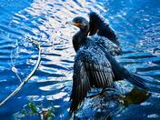 Cormorant on Lake Angrignon.
