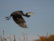 Blue heron flight in early morning