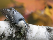 Autumn Nuthatch
