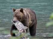 Hungry Grizzly