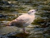 Jonathan Standingrock, Seagull