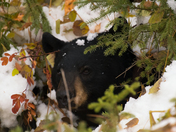 Mother bear out of culvert
