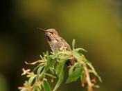 Anna's Hummingbird: a closeup
