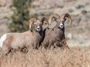 Couple of Rams