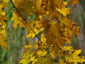 Golden Oak leaves of Autumn