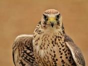 Peregrine Falcon in  Bird Show