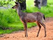 Black Tail Deer.