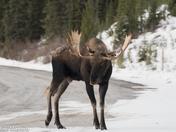 bull moose 5