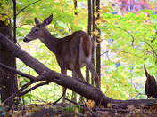 Female Doe in the forest