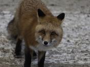 Red fox closeup