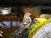 Goldfinch at the waterfalls