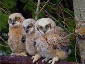 Owlet Trio
