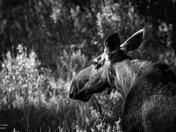 Meandering Moose
