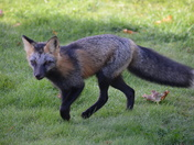 PEI fox