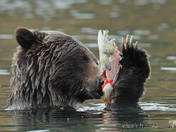 Hooked Salmon