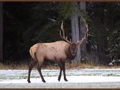 Bull Elk on the greens