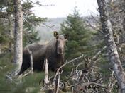 Nova Scotia Moose
