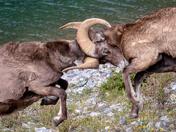 Ram Fight